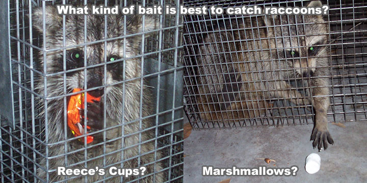 Raccoon Bait What Kind Of Bait Is Best To Put In A Trap