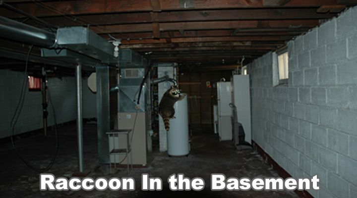 raccoon in the basement