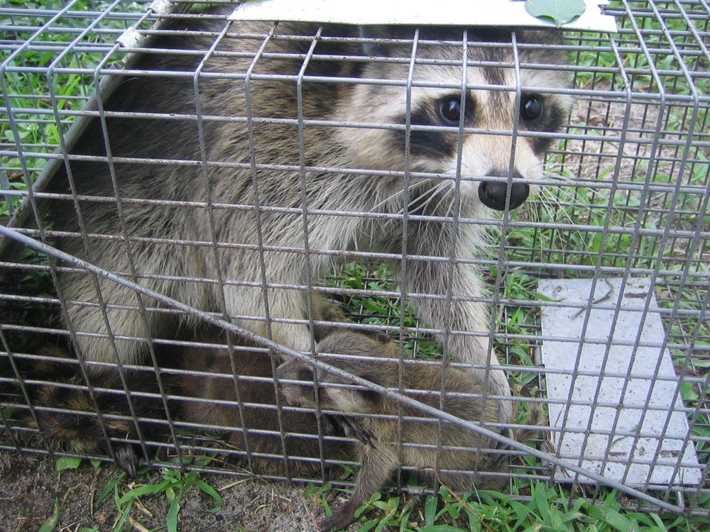 How To Catch Raccoons