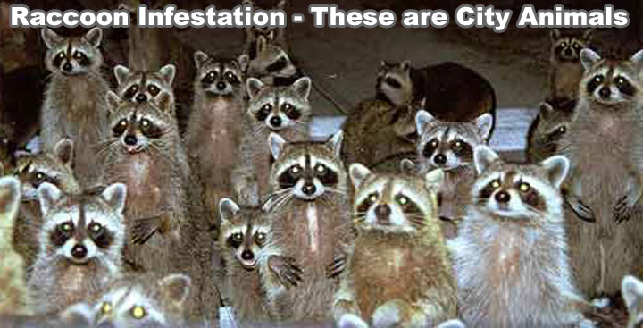 Raccoon Infestation