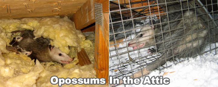 How To Remove Possum In The Attic Get Rid Of An Opossum