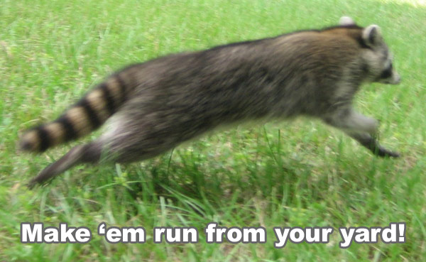 Raccoon prevention how to keep raccoons away and out of for Do raccoons eat fish