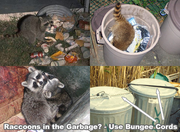 Raccoon problems in house yard garden pond pool or for Do raccoons eat fish