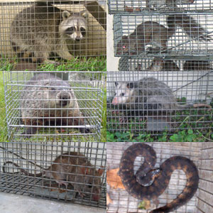 Houston Animal Trapper Humane Wildlife Removal Raccoon