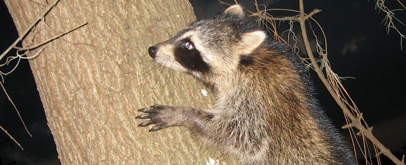 But In All Honesty, Even Just A Single Bird Feeder Is All The Incentive  They Need. So, How Can You Make Raccoons Keep Their Hands Off Your Bird  Feeder?