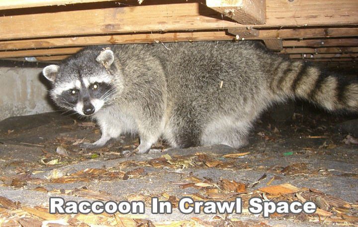 Raccoon In The Crawl Space Under The House
