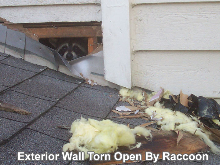Photos Of Damage From Raccoons In Attic Torn Ducts