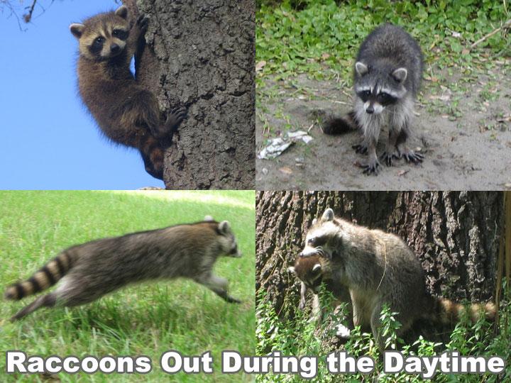 Raccoon Outside in the Daytime - Is it Rabid or Dangerous?