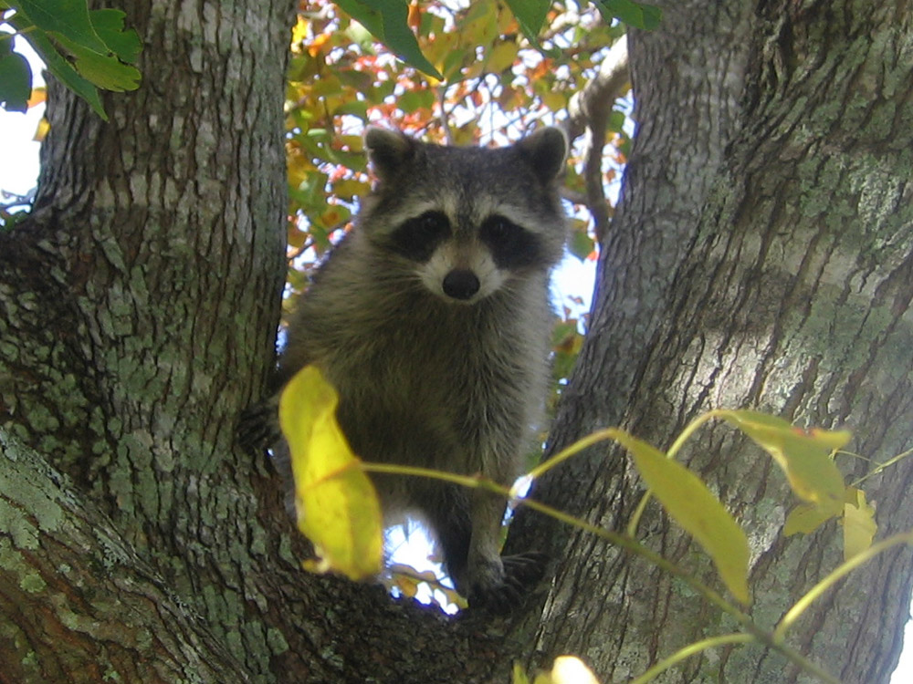 Raccoons Photographs