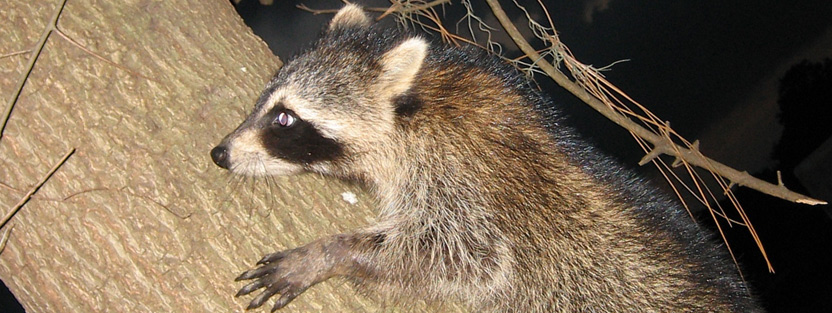Do Mothballs or Ammonia Help Repel Raccoons?