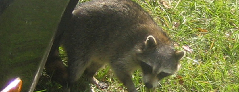 How to keep raccoons out of my garden - How to keep raccoons out of garden ...