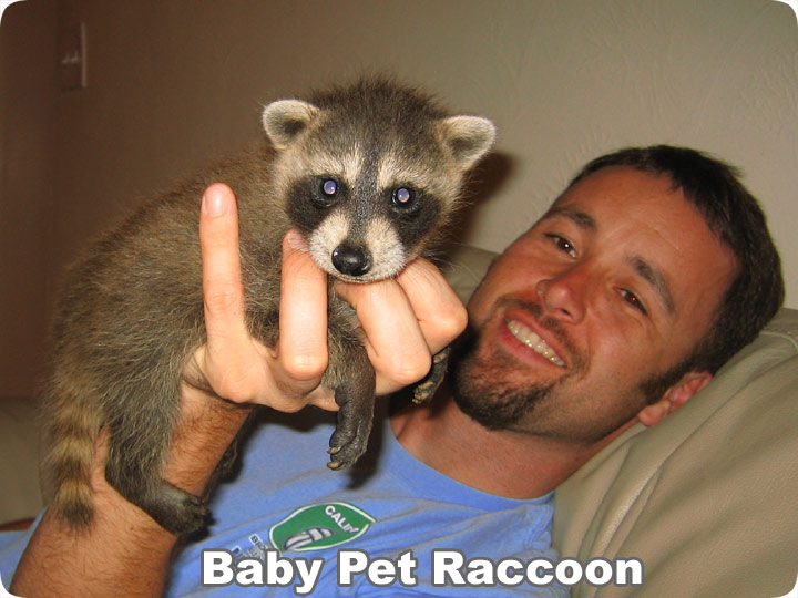 Where Can I Get a Pet Raccoon?
