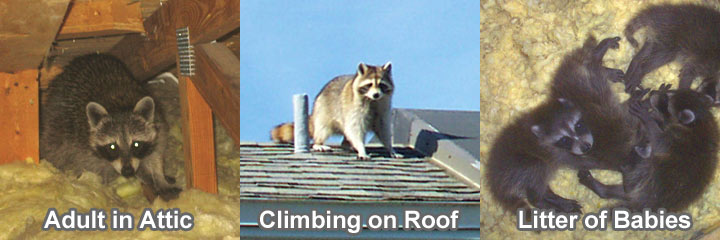 Raccoons In The Attic Guide To Humane Raccoon Removal
