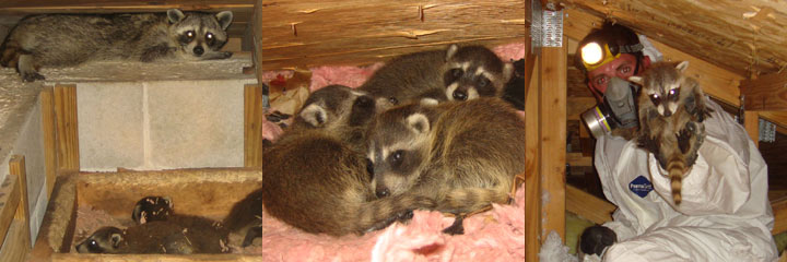Raccoons in the Attic - Guide To e Raccoon Removal on raccoon in bedroom, raccoon in bed, raccoon in kitchen, raccoon in attic, raccoon in garage, raccoon in paint, raccoon in space, raccoon in room, raccoon in box, raccoon in office, raccoon in sink, raccoon in building, raccoon in water, raccoon in bathroom, raccoon in log, raccoon home, raccoon in bath, raccoon in wall, raccoon in the floor, raccoon in chair,