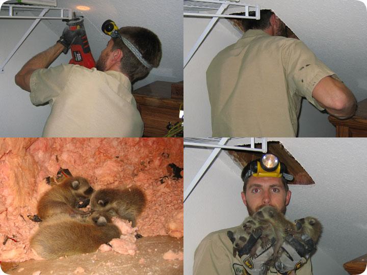 Raccoon Nest In Attic Or Tree Nesting Season