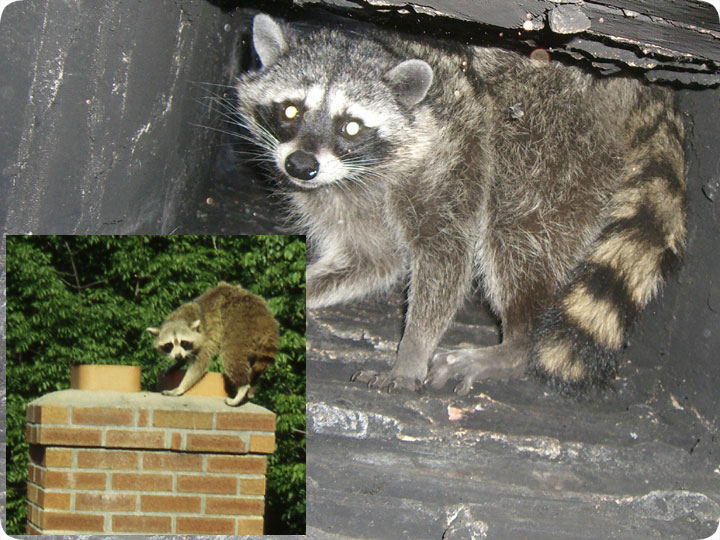 Raccoons in the Chimney - How To Remove Them
