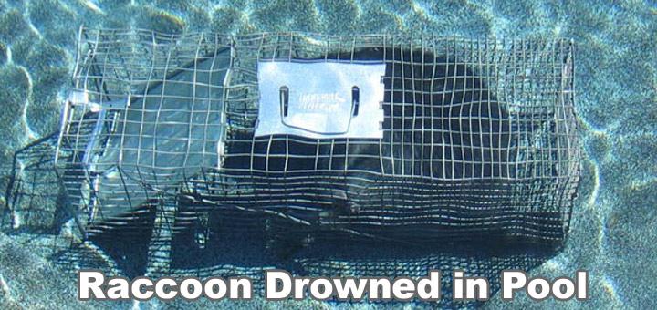 Raccoon In Swimming Pool Urine Pee Feces And Poo In Pool