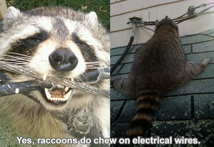 Do Raccoons Chew On Wires In My Attic